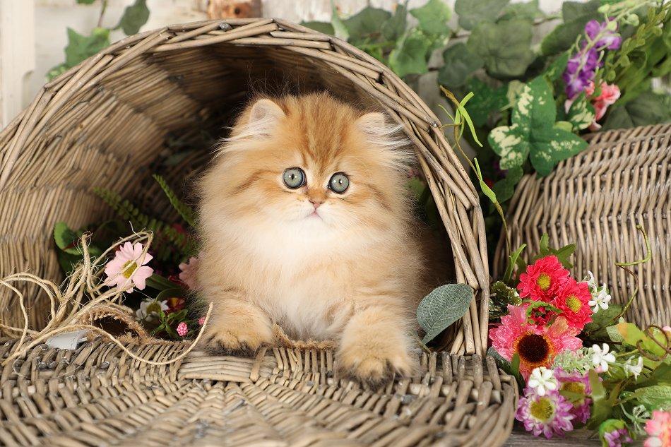 Rosegold Persian Kitten