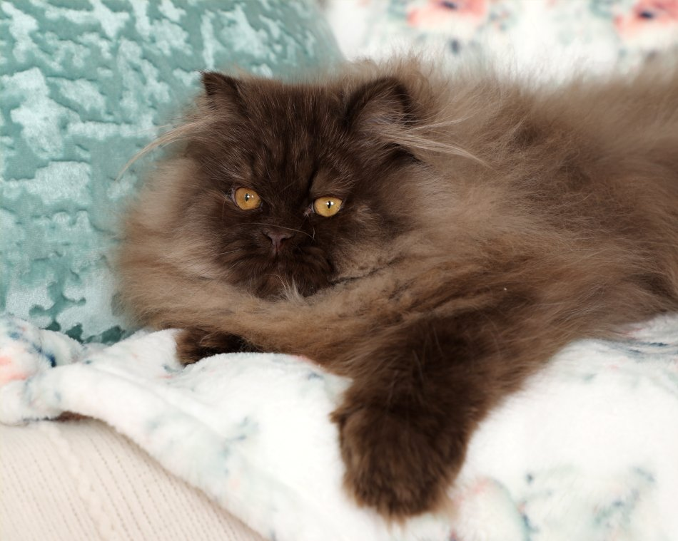 Chocolate Persian Cat