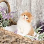 Red and white bicolor Persian