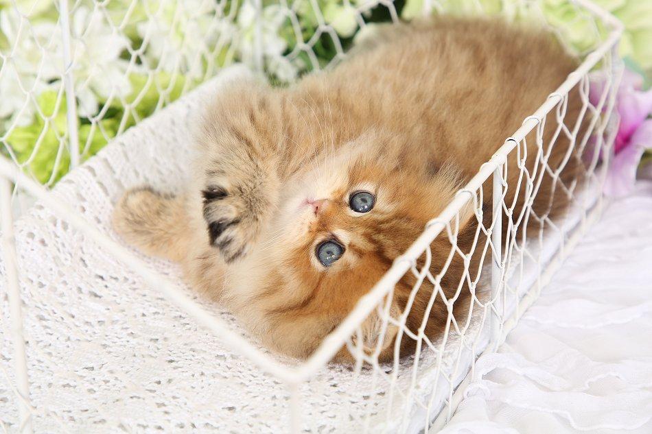 Rose Gold Chinchilla Persian Kitten