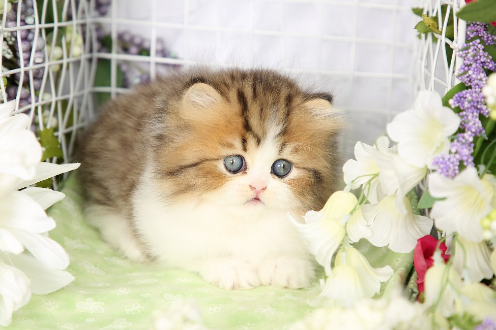 Doll Face Persian Kitten