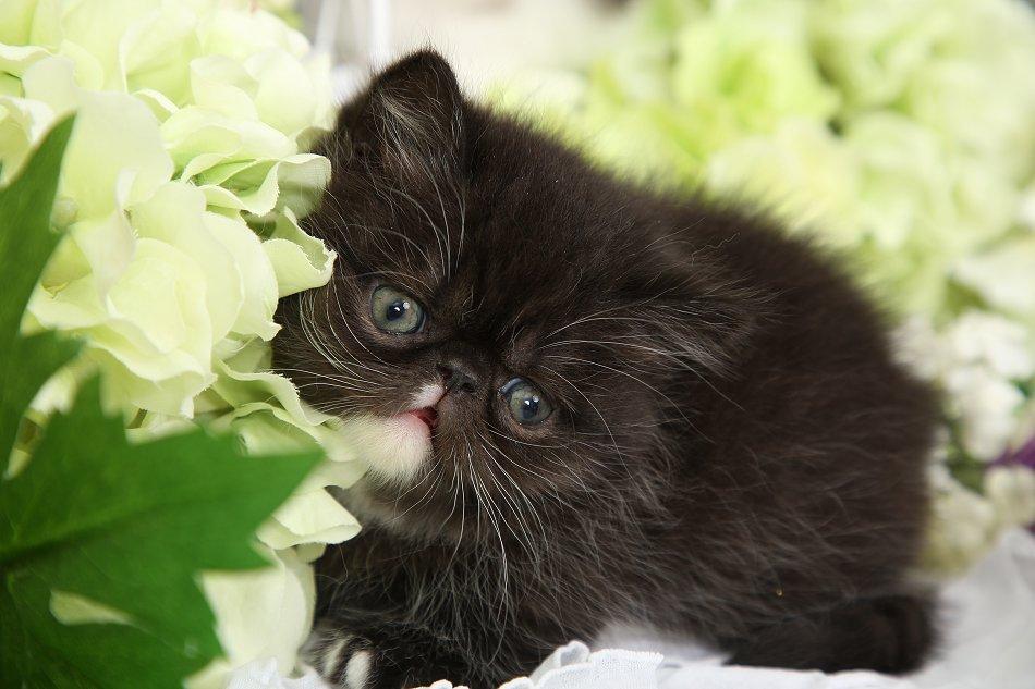 Rug Hugger Kittens for Sale