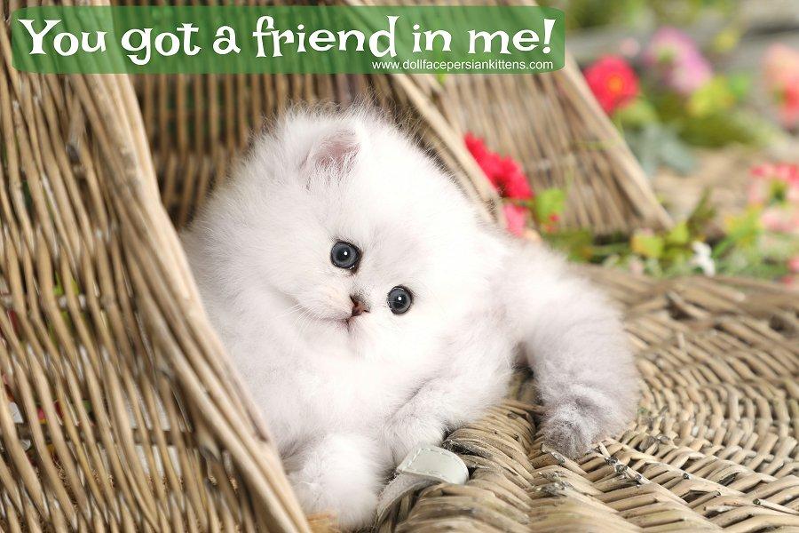 Chinchilla Silver Persian Kittens