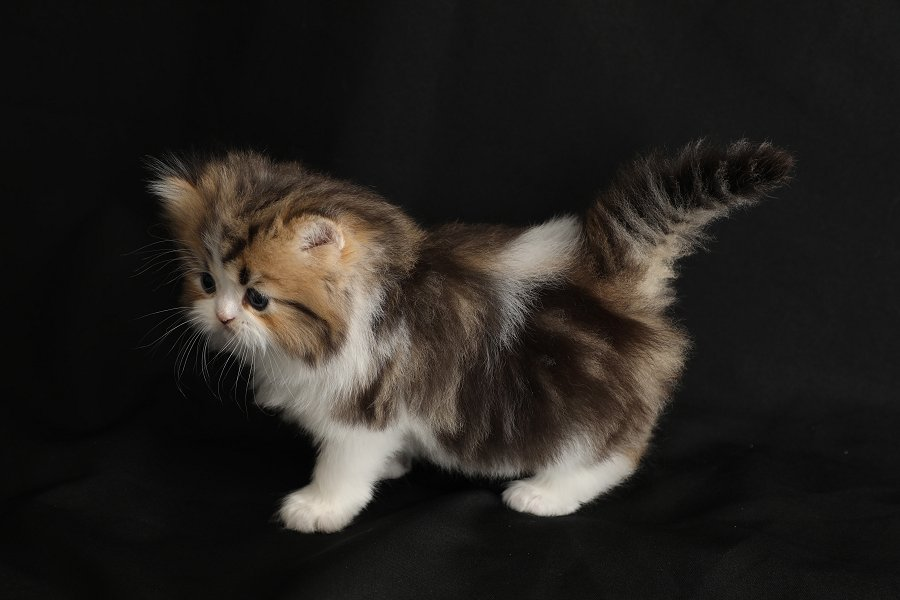 Shaded Golden & White Bicolor Kitten