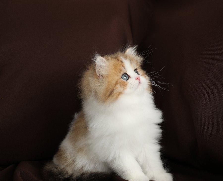 Golden & White Bicolor Persian Kitten