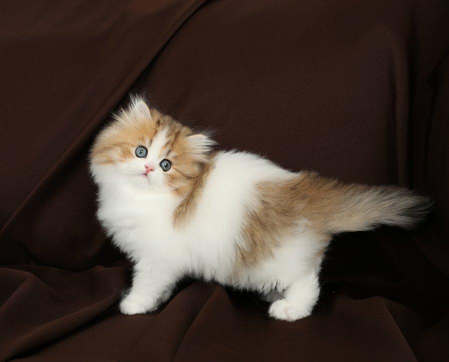 Golden & White Bicolor Kitten