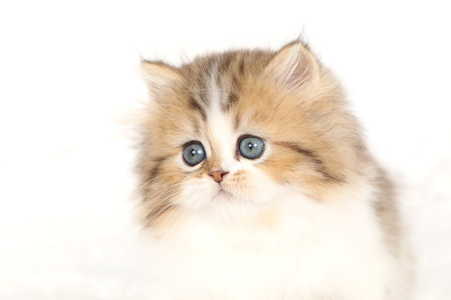 Chinchilla Golden and White Bicolor Kitten