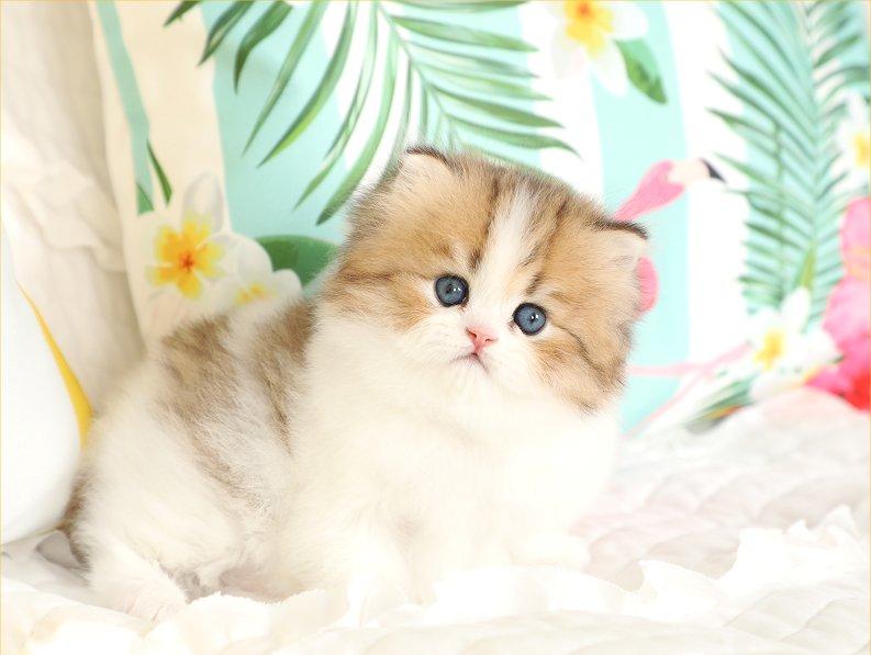Chinchilla Golden & White Persian