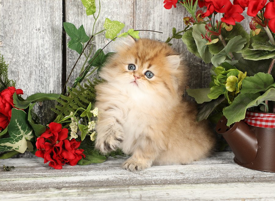 Rose Gold Persian