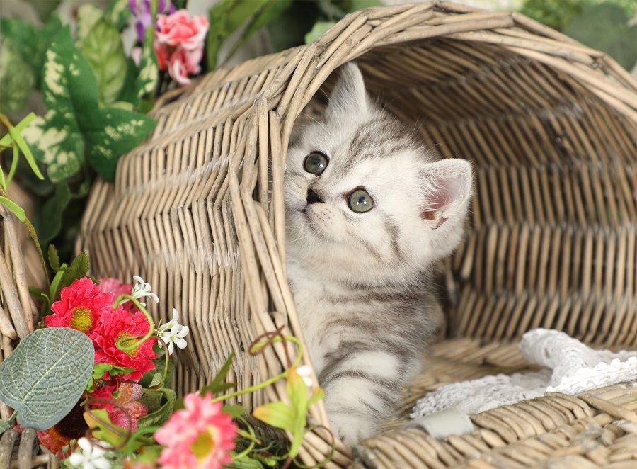 Shaded Silver Rug Hugger Kitten