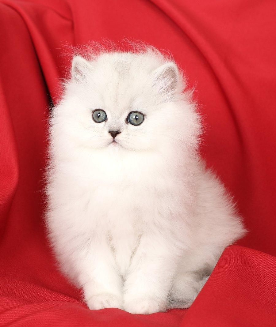 Chinchilla Silver Persian Kitten