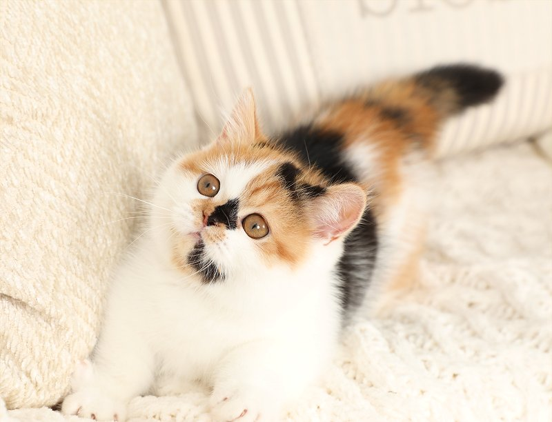 Patches The Calico Rug Hugger Kitten