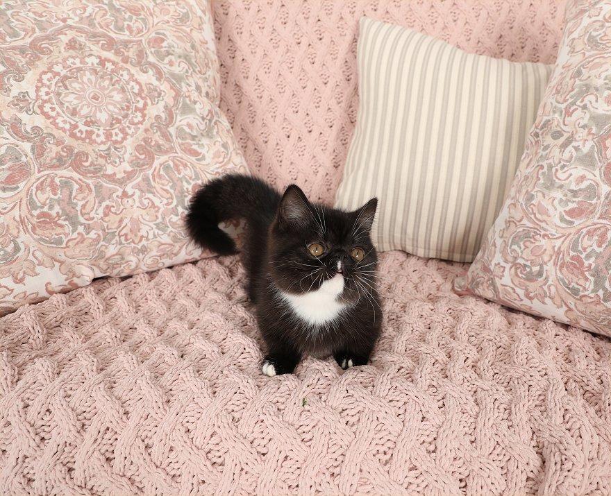 Black and white Rug Hugger Persian Kitten