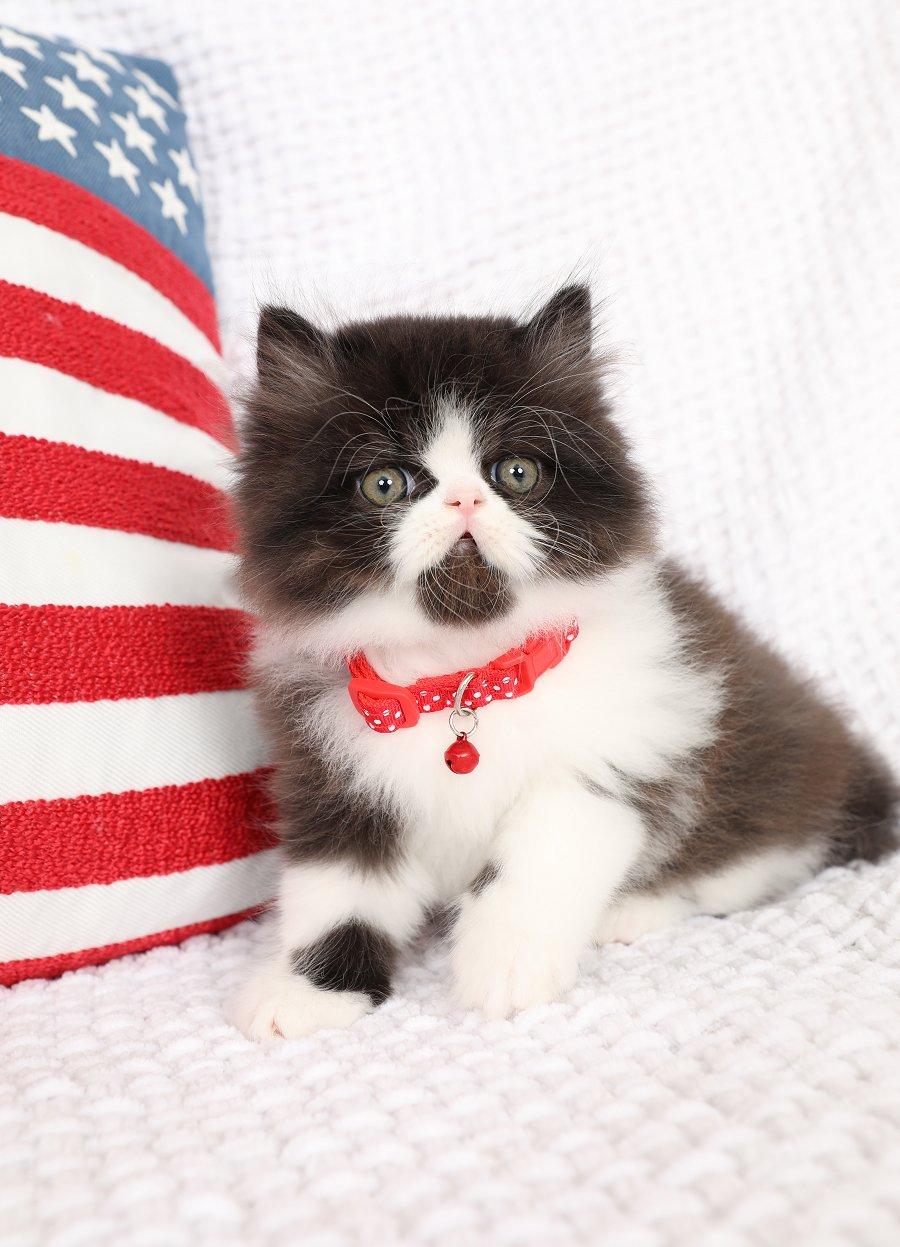 Black & White Persian Kitten
