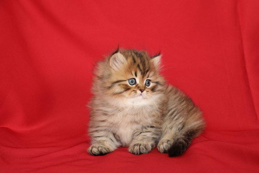 Shaded Golden Persian Kitten