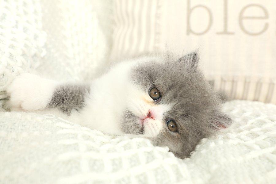 Blue & White Bicolor Persian Kitten