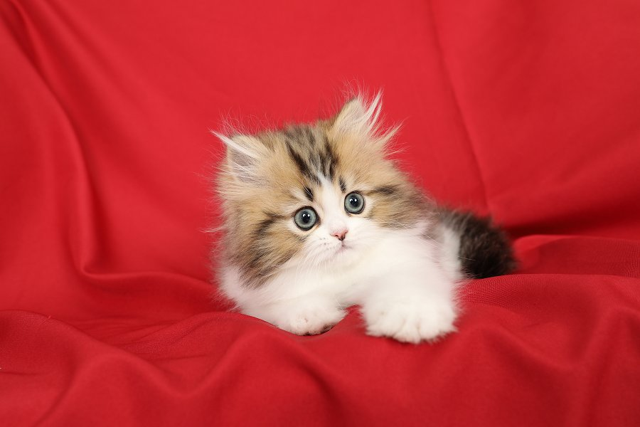 Golden & White Bicolor Persian Kitten