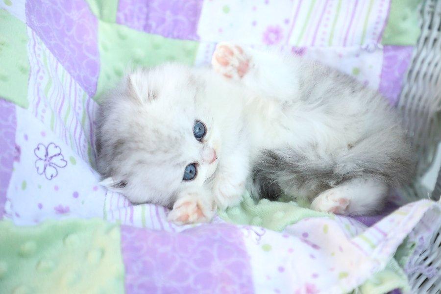 https://dollfacepersiankittens.com/kitten-application/