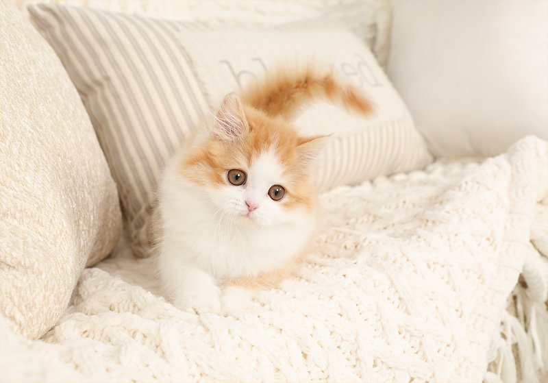 Red and white bicolor Kitten