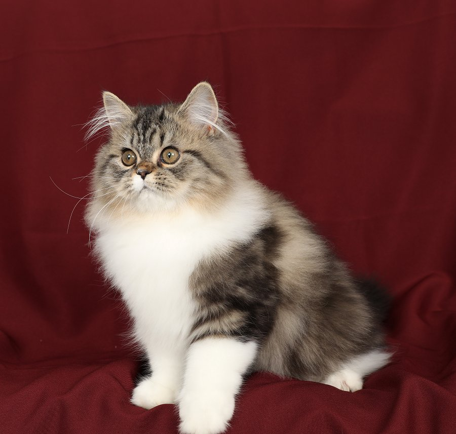 Golden Tabby & White Persian Kitten