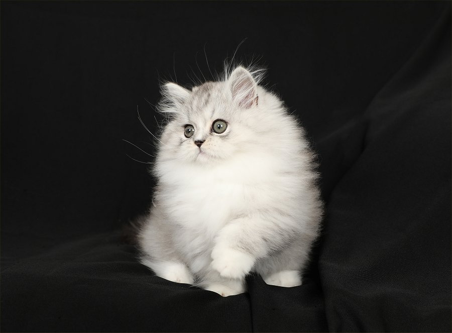 Silver and white Rug Hugger Kitten
