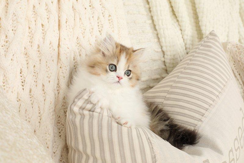 Chinchilla Golden and White Persian Kitten