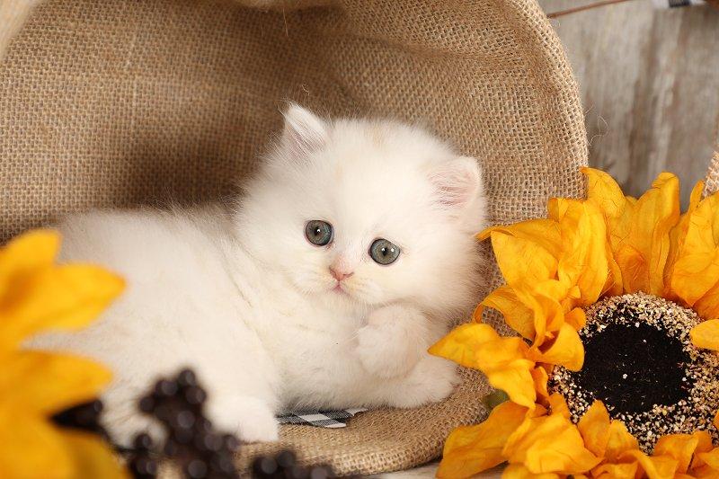 Rug Hugger Kitten