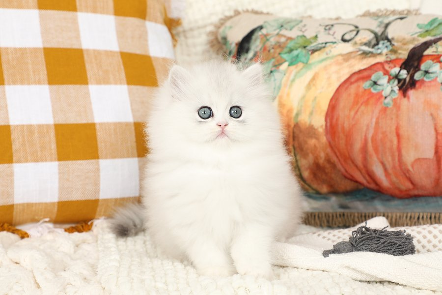Chinchilla Silver & White Persian