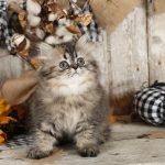 Shaded Golden Tabby Kitten
