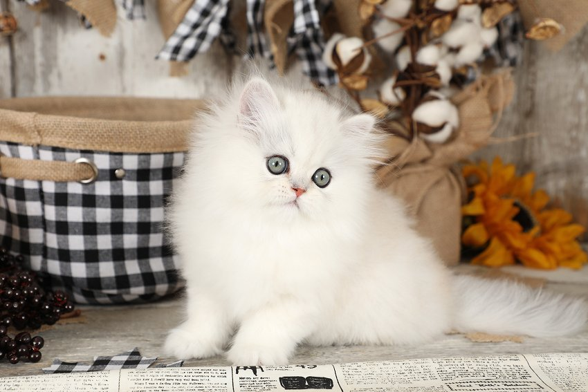 Chinchilla Silver Persian Kitten