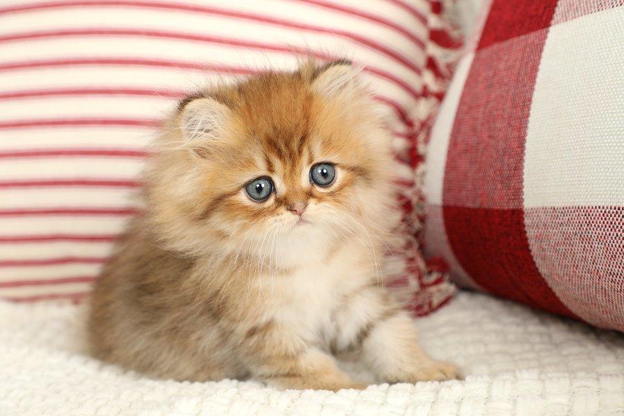 Rose Gold Persian Kitten