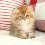 Rose Gold Persian Kitten