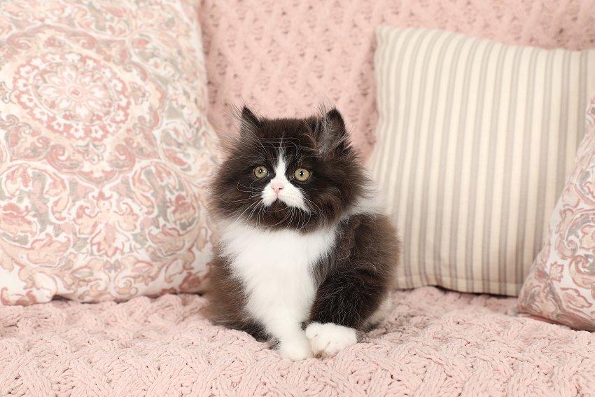 Black & White Bicolor Persian Kitten