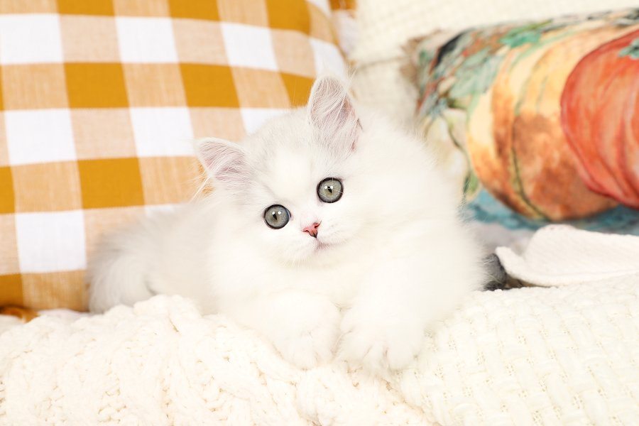 Chinchilla Silver & White Persian Kitten