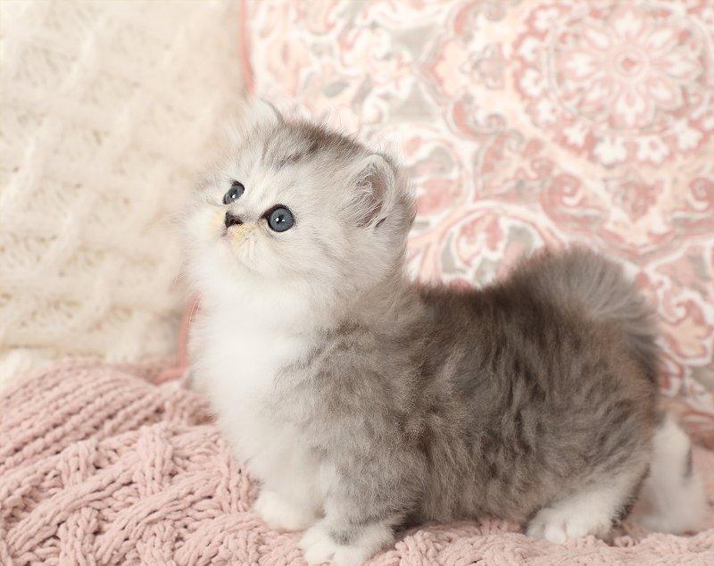 Silver and White Bicolor Rug Hugger Kitten