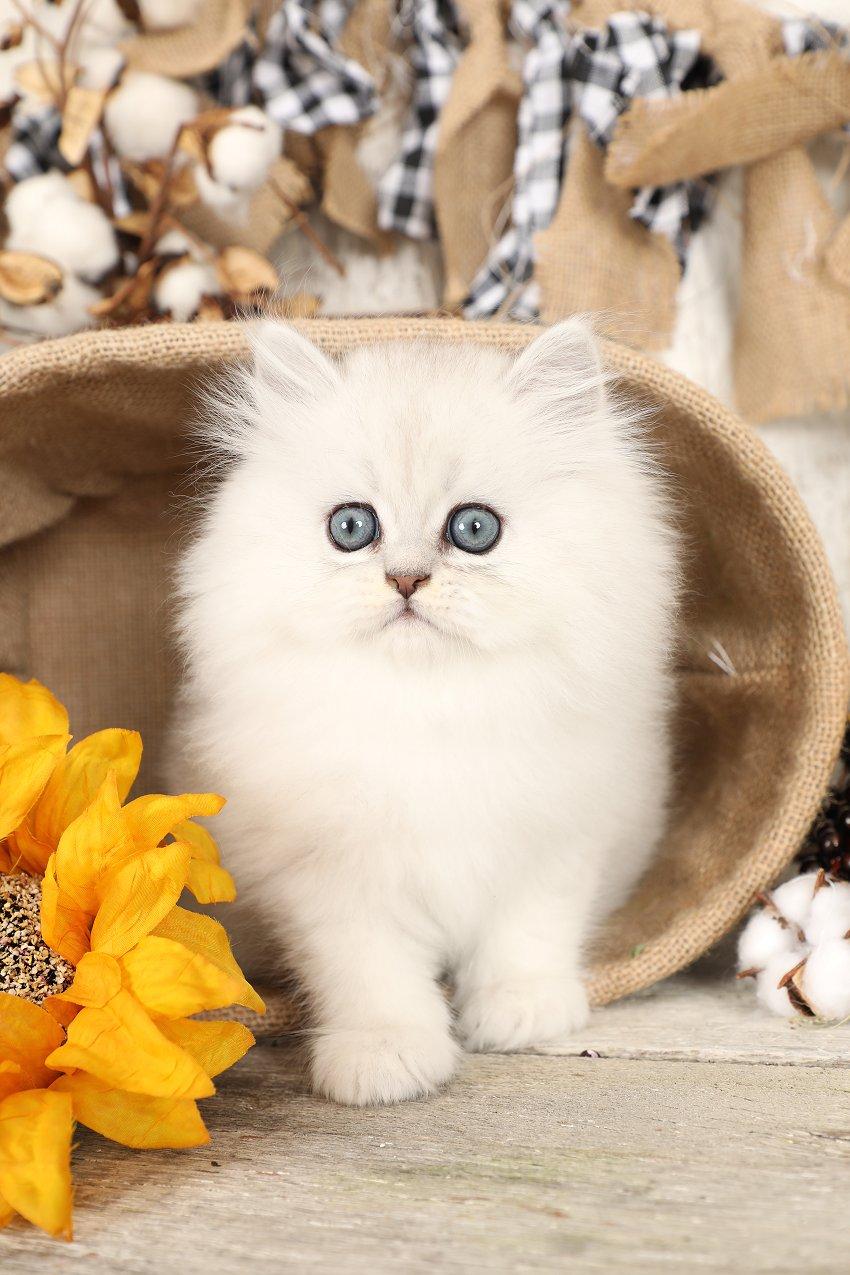 Chinchilla Silver Persian