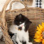 Black & White Bicolor Kitten