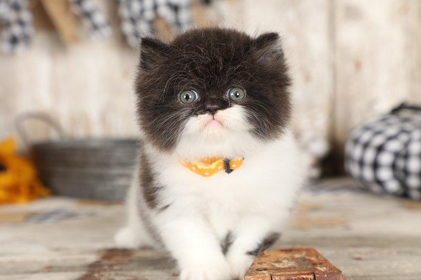 Black & White Bicolor Persian