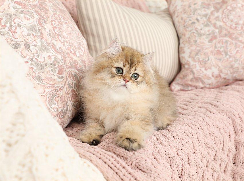 Stardust - Rose gold Persian Kitten For Sale - Luxury
