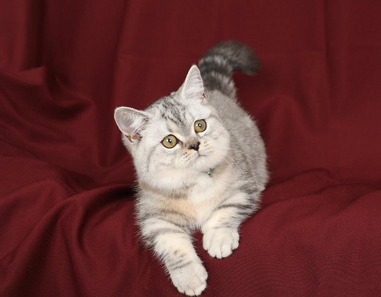 Silver Tortie Kitten