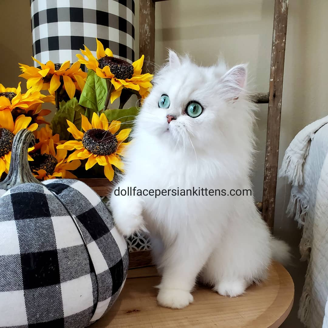 Teacup Persian Cat