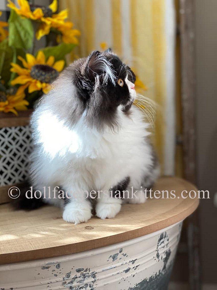 Black and white bicolor Persian Kitten