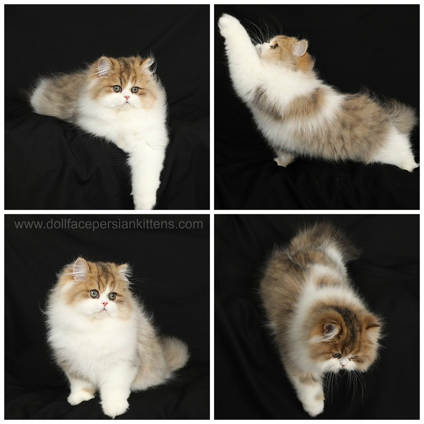 Shaded Golden and White Persian