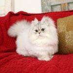 Pixie Persian