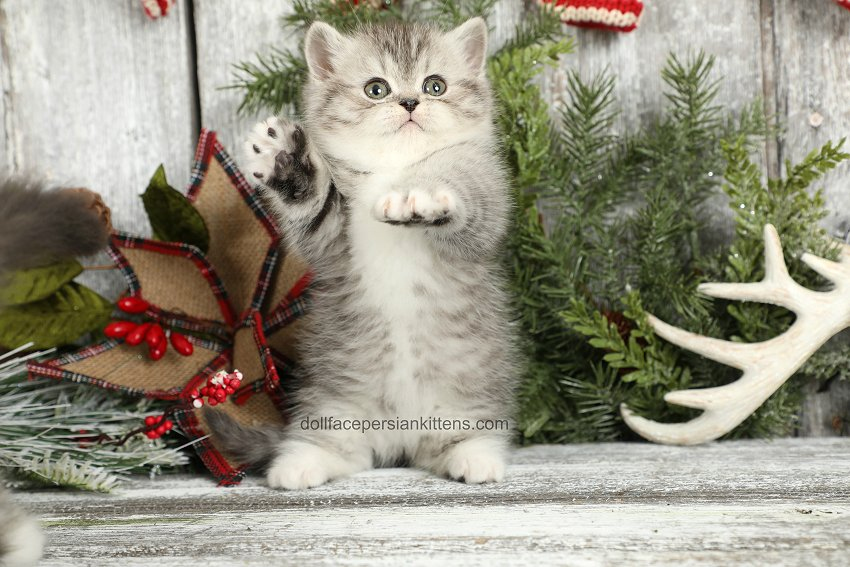 Exotic Shorthair Rug Hugger Persian Kitten