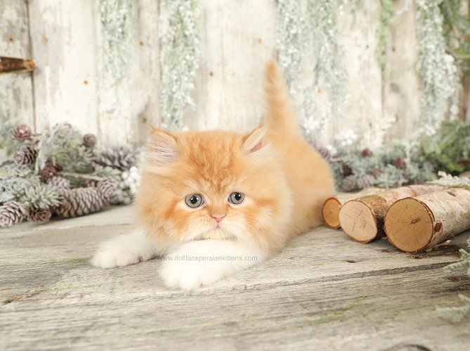 Red & White Bicolor Persian
