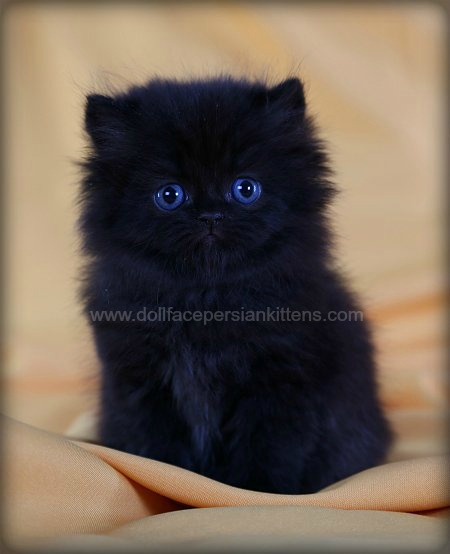 Black Persian Kittens Black Persian Cats Doll Face Persian Kittensdesigner Persian Kittens For Sale Luxury Kittens 660 292 2222 660 292 1126 Shipping Available