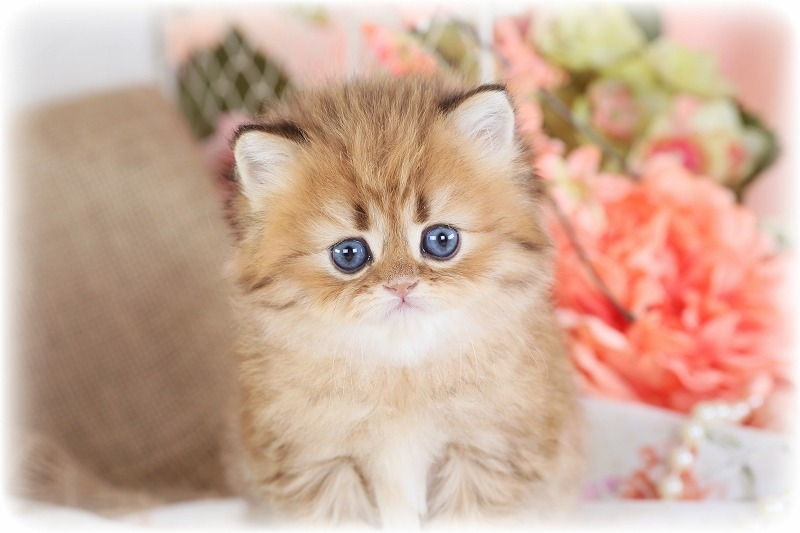 Teacup Persian Kittens For Sale Doll Face Persian Kittensdesigner Persian Kittens For Sale Luxury Kittens 660 292 2222 660 292 1126 Shipping Available