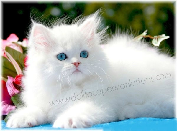 White Persian Kittens White Persian Cats Pure White Catsdesigner Persian Kittens For Sale Luxury Kittens 660 292 2222 660 292 1126 Shipping Available