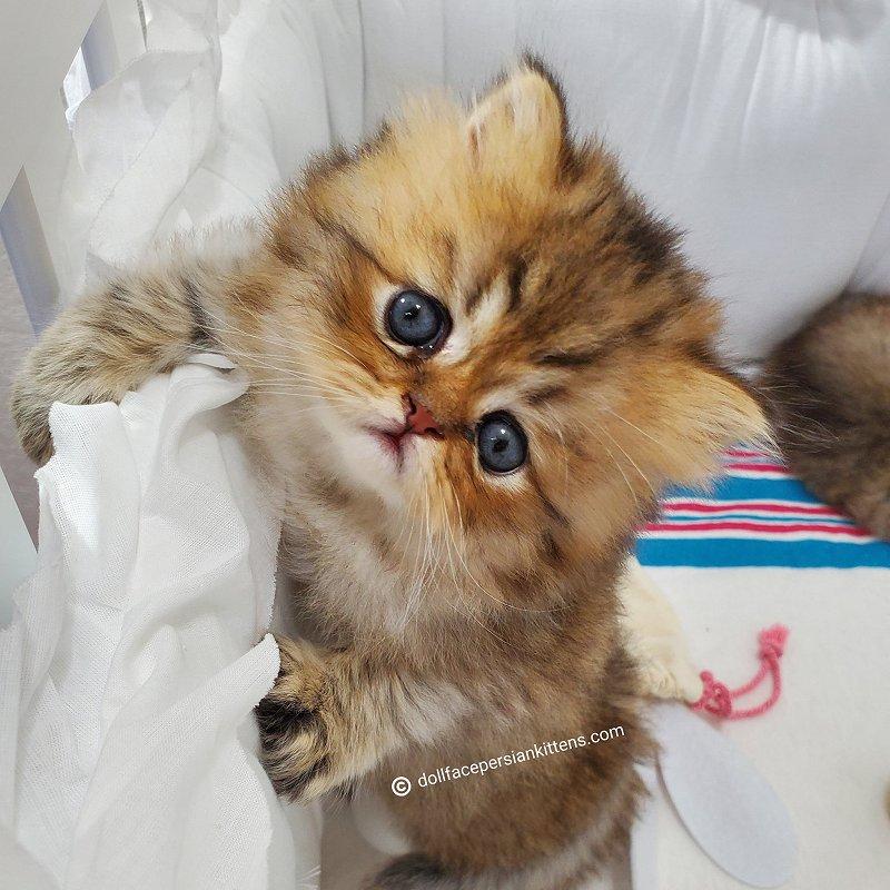 Loki - Doll Face Persian Kitten For Sale